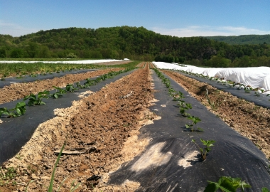Strawberries are a' coming! (Kristy McCarron/DC on Heels)