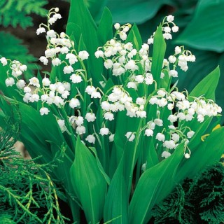 Lily of the Valley (Photo Courtesy of Springhill)