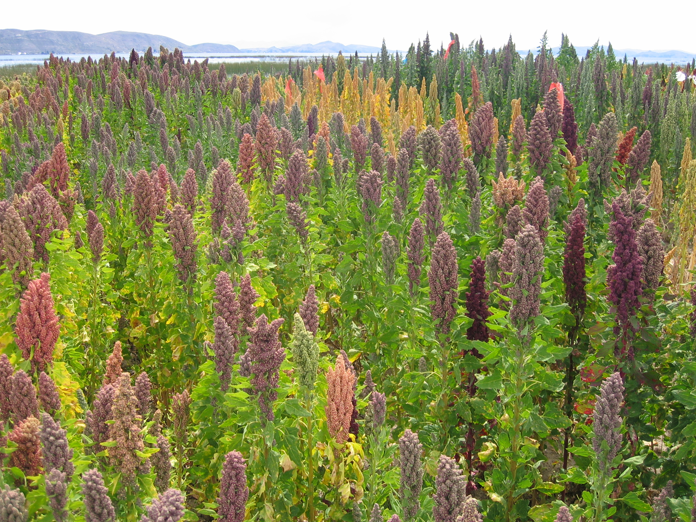 Quinoa, raised by the Incas, is a whole grain that can replace gluten-containing grains.