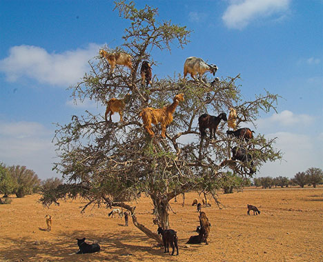 Goats in search of argan nuts (Photo: Lottilies)