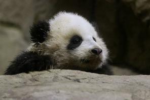 Bao Bao (Photo: Associated Press)