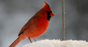 A cardinal in winter (Photo: Jon Woolf)