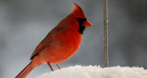 A cardinal in winter (Photo: Jon Woolf)
