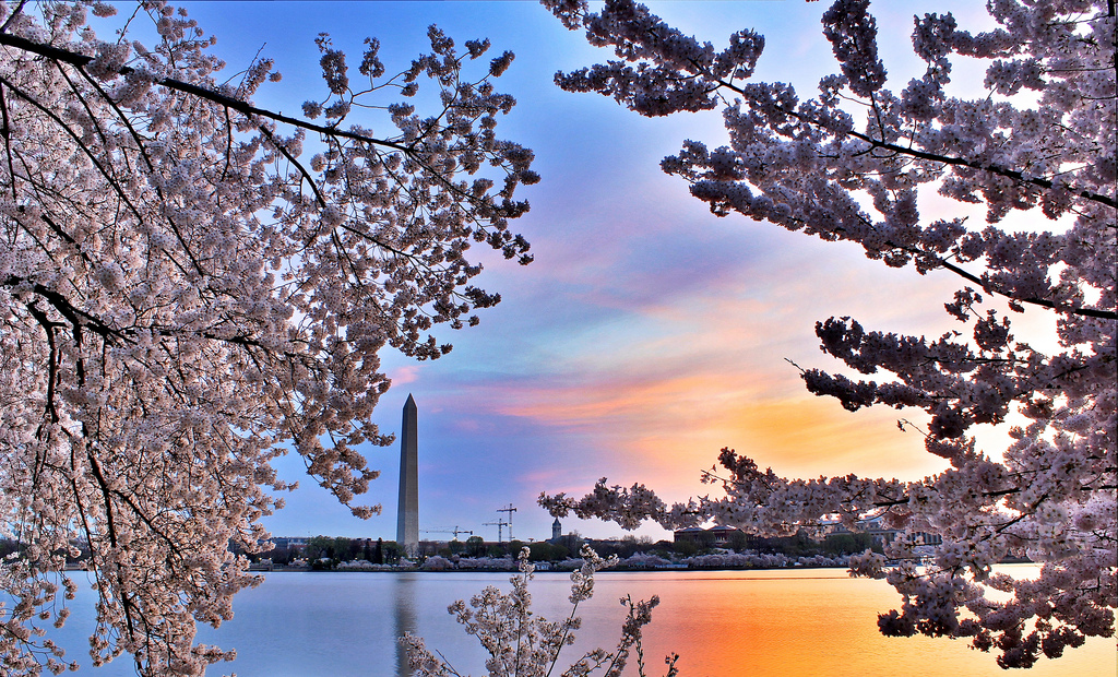 The Washington Monument on Friday morning framed by cherry blossoms. (Photo: Wolfpackwx/Flickr)