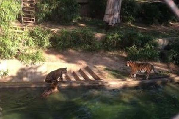 Tiger cubs cooling down and warming hearts. (Photo: Richard Barry/DC on Heels)