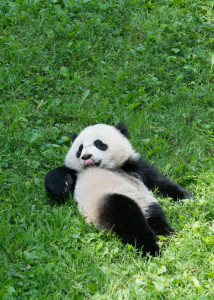 Bao Bao turns 1 on Saturday. (Photo: Abby Wood/Smithsonian National Zoo)