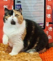 The National Capital Cat Festival is at the Dulles Expo Center with everything cat. (Photo: National Capital Cat Show)