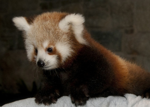 Visitors to the Smithsonian's Autumn Conservation Festival at the Smithsonian Conservation Biology Institute could see the Red Panda cubs. (Photo: Mehgan Murphy/National Zoo)