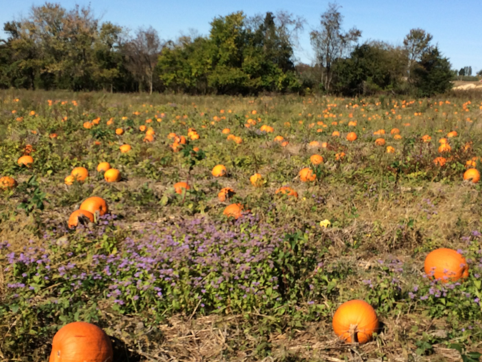 Pumpkin patch at Homestead Farm (Photo: Mackenzie Keller)