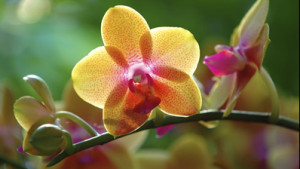 Smithsonian Gardens orchid specialist Tom Mirenda will teach you all about the flower and help you choose the right one for your home. (Photo: Smithsonian Institution)