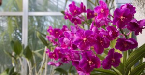 March is orchid month at Hillwood Estate, Museum & Gardens. (Photo: Hillwood)