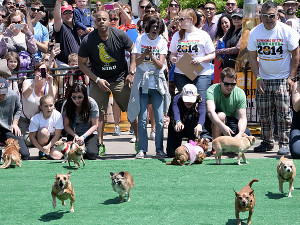 Chihuahuas race during the 2013 Running of the Chihuahuas. This year's event takes place Sunday at The Wharf. (Photo: Getty Images)