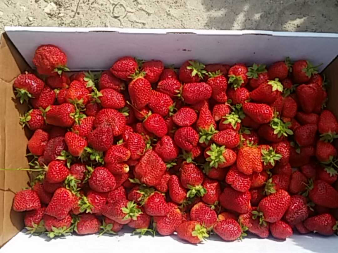 A bounty of strawberries after an hour of picking. (Photo: Mark Heckathorn/DC on Heels)