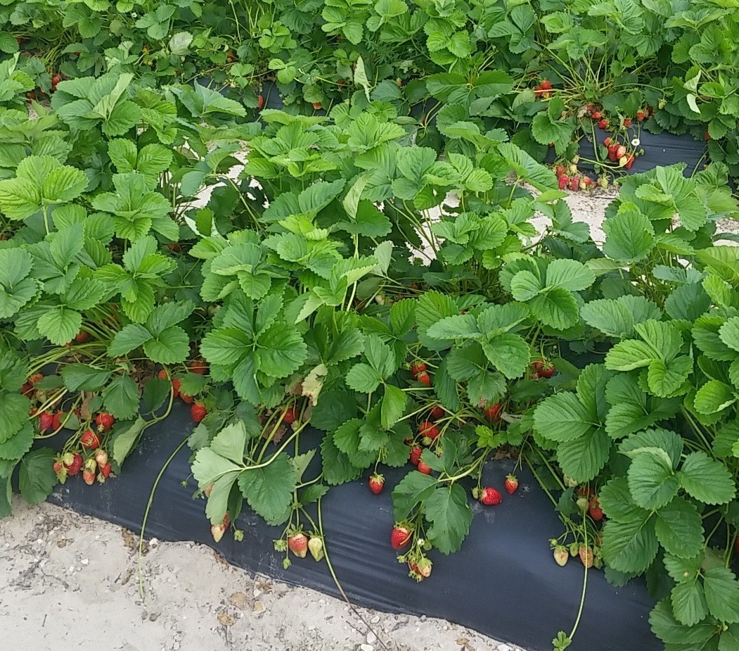 Strawberry plants at Shlagel Farms in Waldorf ready for picking. (Photo: Mark Heckathorn/DC on Heels)