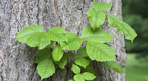 Some people are more allergic to poison ivy than other. (Stock Photo)