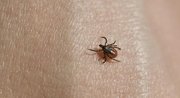 The blacklegged deer tick can cause Lyme disease. (Photo: Penn State)