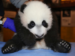 Meet Bei Bei at his public debut this Saturday at the National Zoo! (Photo: Smithsonian)
