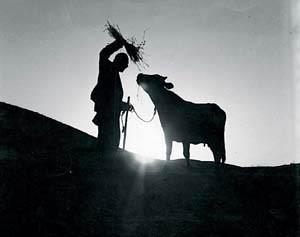 Watch the restored Iranian cinema class The Cow at the  Twentieth Annual Iranian Film Festival (Photo:  www.apwadenius.com)