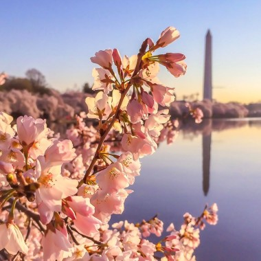 The Nationall Cherry Blossom Festival attracts thousands of tourists every year. (Photo:: packedsuitcase.com