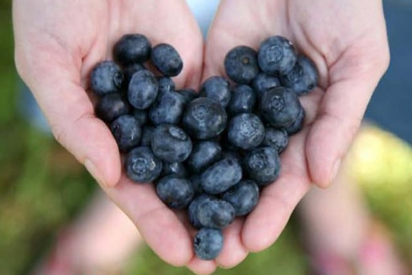 Blueberries help lower the risk of heart disease and cancer, now researchers think they may help prevent Altzheimer's disease as well. (Photo: Shutterstock)