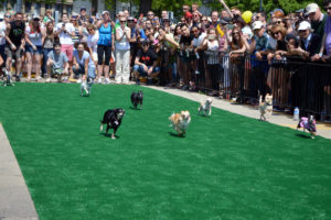 Chihuahuas dash for the finish line at last year's Running of the Chihuahuas. (Photo: On Tap Magazine)