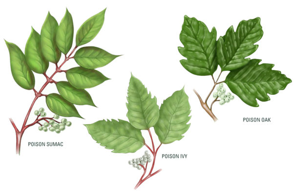 """Follow the adage, """"Leaves of three, let it be."""" (Graphic: Engledow Group)"""