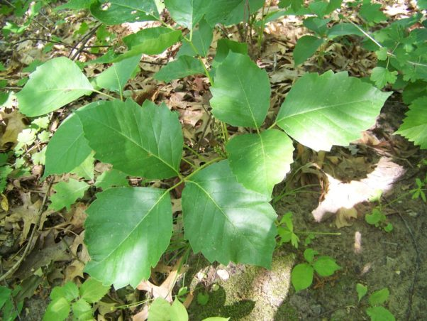 Contact with poison ivy (pictured), poison oak or poison sumac often cause skin rashes. Poison ivy is the most common on the DMV. (Photo: SWMNPoliSciProject/Wikipedia)