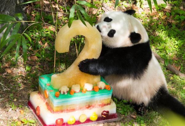 Bao Bao eats her frozen fruit cake last year. (Photo: Jim and Pam Jenkins)