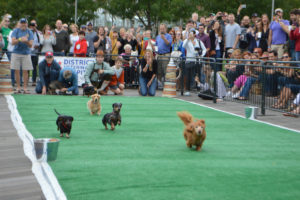 Dachshunds race during last year's Wiener 500. (Photo: On Tap)