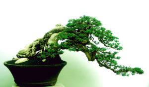 The World Bonsai Day Festival is this weekend at the National Arboretum. (Photo: Rudy Julianto)