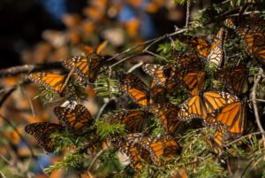 <em>The Guardians</em> on Sunday at the Environmental Film Festival looks at the endangered Monarch butterfly and the people who protect the butterflies' home. (Photo: Eidolon Films)