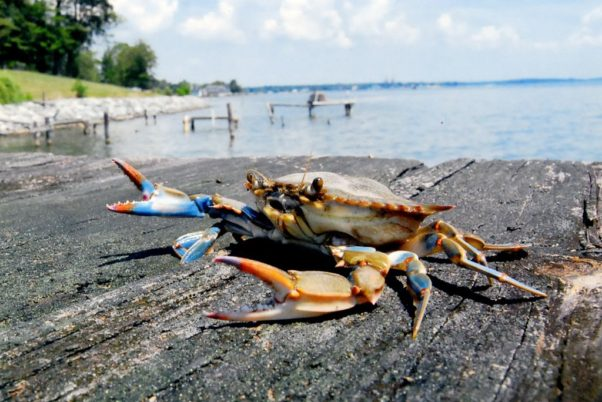 The blue crab population fell in the Chesapeake Bay this year to 371 million from 455 million last year. (Photo: Maryand Department of Natural Resources)