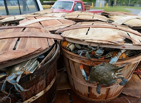 Because the adult blue crab population fell over winter due to the cold weather, you will have to wait until mid-summer when the young crabs mature are large enough to keep to get your fill. (Photo: Jay Diem/Delmarva Now)