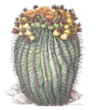 A painting of an Arizon barrel cactus on display as part of an art show at the U.S. Botanic Gardens. (Painting: Joan McGann)