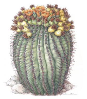 A painting of an Arizon barrel cactus on display as part of an art show at the U.S. Botanic Gardens. (Painting: Joan McGann)