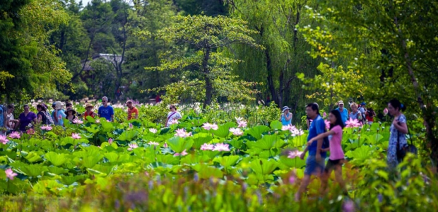 The annual Lotus and Water Lily Festival and Kenilworth Aquatic Gardens is this Saturday and Sunday. (Photo: Kenilworth Aquatic Gardens)