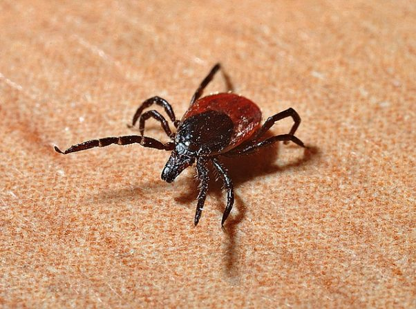 Blacklegged, or deer, ticks spread Lyme disease. (Photo: Jerzy Gorecki/Pixabay)