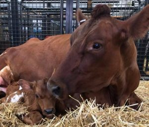 Visit the newborn farm animals at the Montgomery County Agricultural Fair, which closes on Saturday. (Photo: Montgomery County Agricultural Fair)