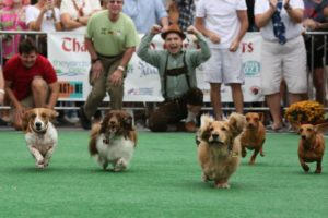 Five dachshunds racing in last year's Weiner 500. (Photo: Amanda Andrade-Rhodes)
