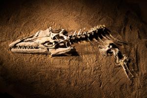 A partial skelton of Angolasadconheeurus bocagei, the oldest known mosasaur. (Photo: Hillsman S Jackson/Southern Methodist University)