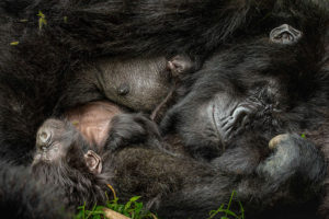 A mother gorilla and her infant sleeping peacefully. (Photo: Nelis Wolmarans)