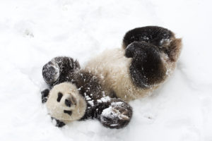 Bei Bei rolls around in snow. (Photo: Smithsonian's National Zoo)