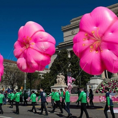 Marchers going past the National Archives dressed in green t-shirts pull three cherry blossom balloons. (Photo: National Cherry Blossom Festival)