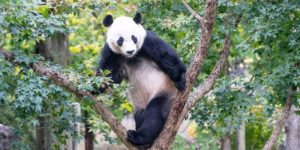 Bei Bei standing in a tree. (Photo: National Zoo)
