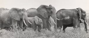 A black and white photo of a herd of elephants. (Photo: National Museum of American History)