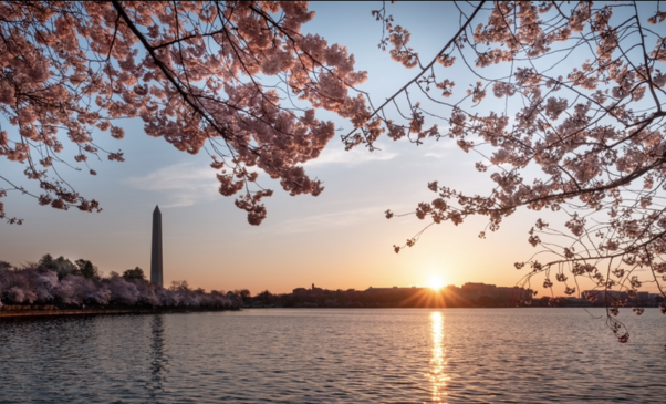 Cherry blossoms along the tidal basin with the Washington Monument in the background. (Photo: National Park Service)