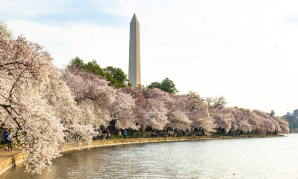 Cherry trees in bloom around the tidal basin shore with the Washington Monument in the background. (Photo: ehpien/Flickr)