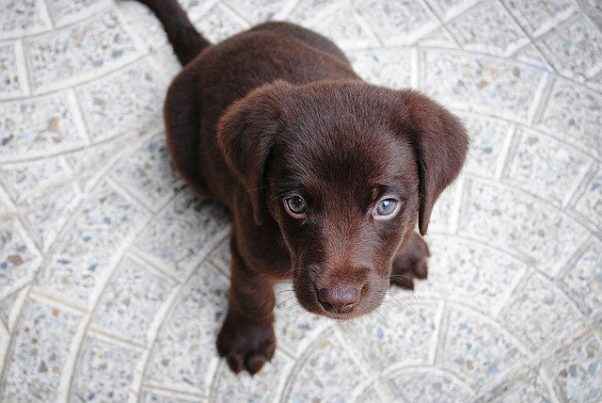 A black Labradore retreiver puppy sitting on gray tile floor looking into the camera. (Photo: Free-Photos/Pixabay)