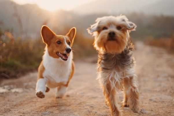 Two small dogs running outside. (Photo: Alvan Nee/Unsplash(