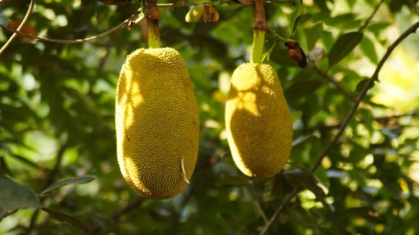 Two jackfruit hanging from a tree. (Photo: Manoj Ap/Unsplash)